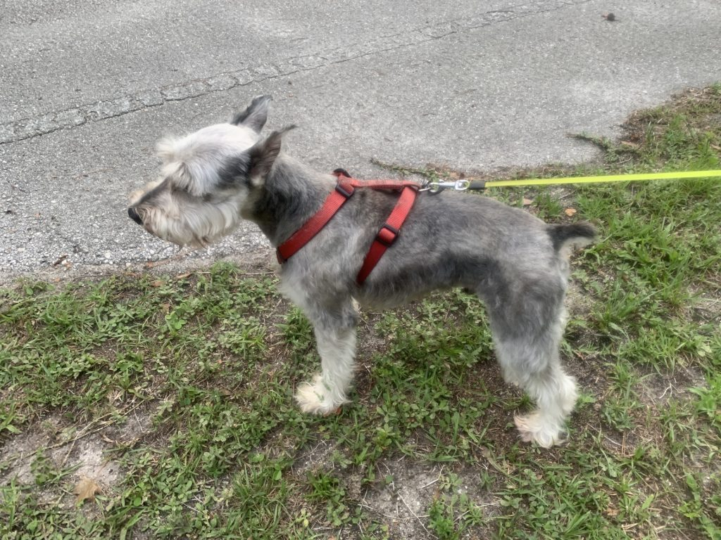 Dog Grooming // DIY // Groom Your Pet At Home // Miniature Schnauzers, Dog Grooming // DIY // Groom Your Pet At Home // Miniature Schnauzers